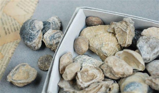 Fosile - Bivalve/ numuliti - pentru colectie - set 4 buc selectate aleator
