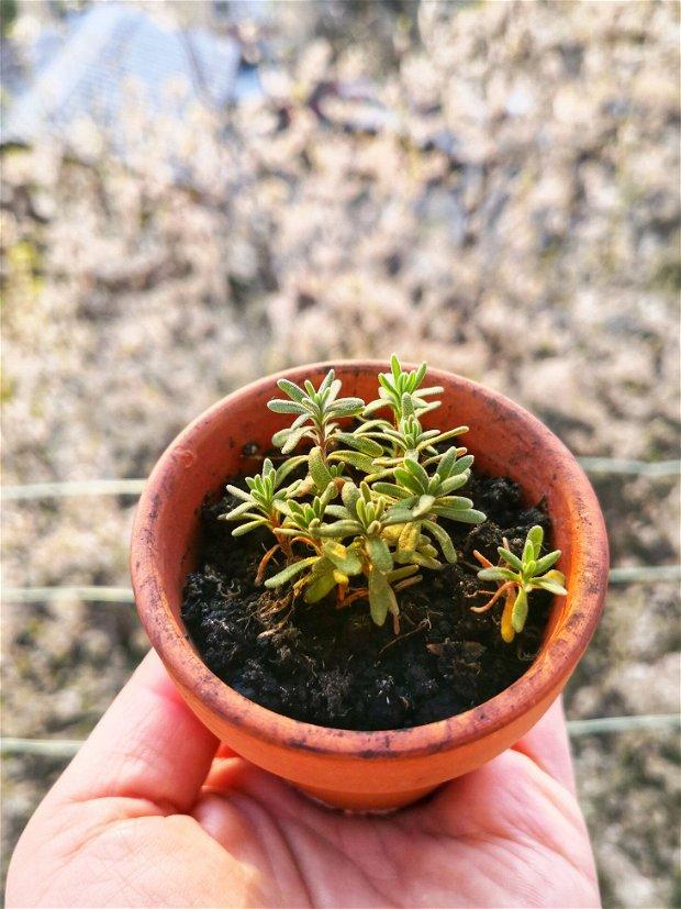 """Set cu semințe de lavandă """"My first lavender farm"""""""
