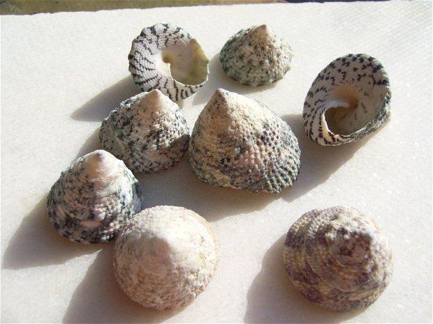 (2 bucati) Melci albi naturali tuguiati aprox 17-25x19-26 mm