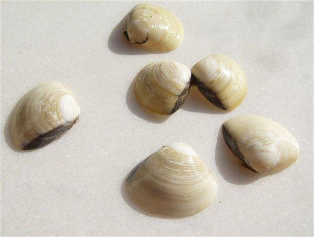 (2 bucati) Scoici pereche alb-crem cu o dunga neagra aprox 25x30...28x34 mm