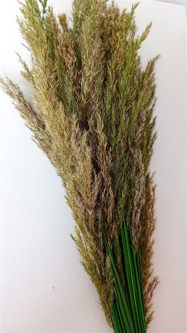 Pampas Grass uscat și stabilizat, Verde-60 cm,15 fire